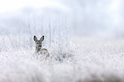 Bockkitz auf einer Moorwiese mit Raureif, Capreolus capreolus, Male Roe Deer fawn on a bog meadow with rime