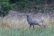 Ein weibliches Reh auf einer Wildwiese beobachtet aufmerksam einen Spaziergaenger auf einem Waldweg, Capreolus capreolus, A female Roe Deer on a game meadow observes attentively a walker on a forest path