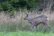 Ricke auf einer Wildwiese am Waldrand, Capreolus capreolus, Roe Deer doe on a game meadow at the edge of a forest
