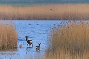 Ein Rehbock und eine Ricke durchwaten den Flachwasserbereich eines Sees, Capreolus capreolus, A Roebuck and a doe wading through the shallow water of a lake