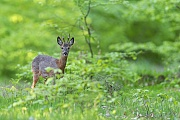 Langsam wechselt der Rehbock in den Eichenhochwald, dabei aeugt er immer wieder zu uns herueber, Capreolus capreolus, The Roebuck walks slowly into the oak forest, but keeps an eye on us