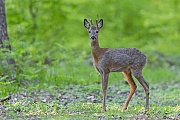 Der Rehbock wechselt immer weiter in den Eichenhochwald, Capreolus capreolus, The Roebuck walks further into the oak forest