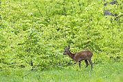 Ein Jaehrling aest die frischen Blaetter der jungen Rotbuchen, Capreolus capreolus, A Roebuck yearling eats the fresh leaves of young Common Beeches