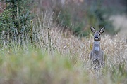 Aufmerksam beobachtet die Ricke einen Fahrradfahrer, der in der Ferne auf einem Waldweg faehrt, Capreolus capreolus, The Roe Deer doe watches attentively a cyclist, who is riding in the distance on a forest path