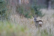 Die Ricke blickt sich ein letztes Mal um, dann wechselt sie von der Lichtung in den Wald, Capreolus capreolus, The Roe Deer doe looks back for the last time, then she moves from the clearing into the forest