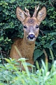Rehbock 117 - Der starke Jaehrling, Capreolus capreolus, Roebuck 117 - The Strong Yearling