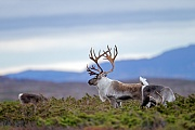 Reindeer were 1952 introduced into the Scottish Cairngorms  -  (Norwegian Reindeer - Photo Reindeer male with females in the rut)