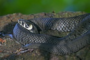 Grass Snake is mainly found near water  -  (Ringed Snake - Photo Grass Snake sunbathing)