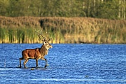Rothirsch, die Weibchen sind deutlich kleiner, als die Maennchen  -  (Rotwild - Foto Rothirsch durchquert einen Teich), Cervus elaphus, Red Deer, the females are much smaller than males  -  (Photo Red stag cross a pond)