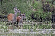 Rothirsch, frisch gesetzte Kaelber wiegen zwischen 6 und 15 kg  -  (Rotwild - Foto Rottier und Kalb im Flachwasser eines Sees), Cervus elaphus, Red Deer, the offspring weighes about 6 to 15 kg  -  (Photo Red Deer hind and calf in the shallow water of a lake)