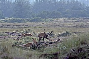 Rothirsch, den Maennchen waechst vor der Brunft eine deutlich sichtbare Brunftmaehne  -  (Rotwild - Foto Rothirsch sucht die Naehe eines Rottieres), Cervus elaphus, Red Deer, the males grow a neck mane during end of summer  -  (Photo Red stag and hind social behaviour)
