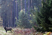 Rothirsche wurden in vielen Laendern, als begehrtes Jagdwild eingefuehrt  -  (Edelwild - Foto Rothirsch auf einer Waldschneise), Cervus elaphus, Red Deer have been naturalized in many countries as a coveted hunting game  -  (Photo Red stag on a forest aisle)