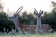 Rothirsch, die weiblichen Tiere werden Hirschkuehe genannt  -  (Rotwild - Foto Rotwildspiesser im Bast in einem Getreidefeld), Cervus elaphus, Red Deer, the females are called hinds  -  (Photo Red Deer brockets with velvet-covered antlers in a cereal field)