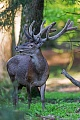Red Deer have been naturalized in many countries as a coveted hunting game  -  (Photo Red stag with velvet-covered antlers)