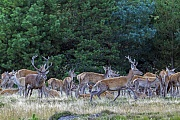 Der Platzhirsch duldet keine anderen Hirsche in seinem Rudel und vertreibt jeden Konkurrenten, Cervus elaphus, The dominant Red stag tolerates no other males in its herd and will chase away any competitor