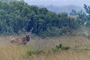 Waehrend eines Regenschauers wechselt ein Rothirsch durch ein Sumpfgebiet, Cervus elaphus, During a rain shower a Red Deer moves through a swampland