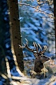 Red Deer is one of the largest deer species - (Photo Red Deer stag in winter forest)