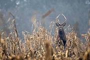 Rotwild der maennliche Nachwuchs schliesst sich spaetestens im Alter von 2 Jahren einem Hirschrudel an - (Foto Hochgabler in einem Maisfeld), Cervus elaphus, Red Deer in the wild they live 10 to 15 years - (Photo young stag in a field of maize)