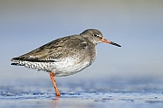 Rotschenkel sind an der Deutschen Nordseekueste haeufige Brutvoegel  -  (Foto Altvogel im Brutkleid), Tringa totanus, Common Redshank is a widespread and common wader at the German North Sea coast  -  (Photo adult bird in breeding plumage)