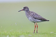 Rotschenkel sind Zugvoegel  -  (Foto Altvogel im Brutkleid), Tringa totanus, Common Redshank is a migratory bird  -  (Photo adult bird in breeding plumage)