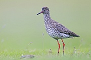 Rotschenkel, das Weibchen legt 3 - 5 Eier  -  (Foto Altvogel im Brutkleid), Tringa totanus, Common Redshank, the female lays 3 to 5 eggs  -  (Photo adult bird in breeding plumage)