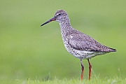 Rotschenkel, beide Geschlechter lassen sich anhand des Gefieders nicht unterscheiden  -  (Foto Rotschenkel im Ruhekleid), Tringa totanus, Common Redshank, both sexes look identical  -  (Photo adult bird in basic plumage)