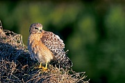 Rotschulterbussard, die Weibchen werden groesser als die Maennchen  -  (Foto Rotschulterbussard in der Morgensonne), Buteo lineatus, Red-shouldered Hawk, the females are larger than males  -  (Photo Red-shouldered Hawk in the first morning sun)