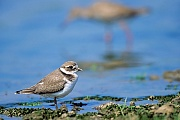 Sandregenpfeifer, nach 3 - 4 Wochen sind die Jungvoegel fluegge  -  (Foto Sandregenpfeifer fluegger Jungvogel), Charadrius hiaticula, Common Ringed Plover, the chicks start to fly 3 to 4 weeks of age  -  (Great Ringed Plover - Photo Common Ringed Plover juvenile bird)