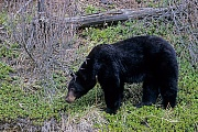 Black Bear is the smallest and most widely distributed bear species in North America  -  (American Black Bear - Photo Black Bear in the Canadian Jasper-National Park)