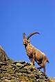 Alpensteinbock im Hochgebirge - (Gemeiner Steinbock), Capra ibex, Alpine Ibex buck standing in the high mountain range - (Steinbock)