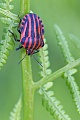 Streifenwanze, die Warnfarben schuetzen das Tier vor Fressfeinden, Graphosoma lineatum, Minstrel Bug, the warning colours protecting them from predators  -  (Italian striped-Bug)