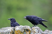 Sundkraehen gehen bevorzugt an Straenden und Kuestenlinien auf Nahrungssuche  -  (Foto Sundkraehen fressen die Ueberreste eines Lachses), Corvus caurinus, Northwestern Crow, favorite forage areas are beaches and shorelines  -  (Photo Northwestern Crows eat the remains of a Chum Salmon)