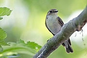 Trauerschnaepper ist ein Zugvogel der ueberwiegend im westlichen Afrika ueberwintert  -  (Foto Altvogel), Ficedula hypoleuca, European Pied Flycatcher is a migratory, wintering mainly in western Africa  -  (Photo adult bird)