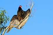Truthahngeier, es gibt zwischen beiden Geschlechtern keinen Groessenunterschied  -  (Foto Truthahngeier trocknet sein Gefieder in der Morgensonne), Cathartes aura, Turkey Vulture, both sexes are similar in size  -  (John Crow - Photo Turkey Vulture dries his feathers in the morning sun)