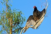 Truthahngeier, anhand des Gefieders koennen die Geschlechter nicht unterschieden werden  -  (Foto Truthahngeier trocknet das Gefieder in der Morgensonne), Cathartes aura, Turkey Vulture, both sexes are identical in plumage  -  (John Crow - Photo Turkey Vulture dries his feathers in the morning sun)