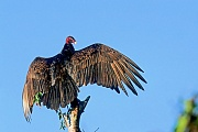 Truthahngeier sind ganzjaehrig sehr gesellige Voegel  -  (Foto Truthahngeier mit geoeffneten Fluegeln), Cathartes aura, Turkey Vulture is a gregarious species  -  (John Crow - Photo Turkey Vulture with open wings)