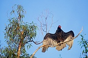 Truthahngeier erreichen eine Koerperlaenge von 62 - 81cm  -  (Foto Truthahngeier mit geoeffneten Fluegeln), Cathartes aura, Turkey Vulture, the length range from 62 to 81cm  -  (John Crow - Photo Turkey Vulture with open wings)