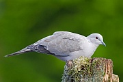 Tuerkentaube die Brutdauer betraegt 13 - 14 Tage - (Foto Altvogel), Streptopelia decaocto, Eurasian Collared Dove the incubation lasts between 13 to 14 days - (Collared Dove - Photo adult bird)
