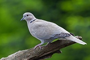 Tuerkentaube das Weibchen bruetet in der Nacht, das Maennchen am Tag - (Foto Altvogel), Streptopelia decaocto, Eurasian Collared Dove the female incubates during the night, the male during the day - (Collared Dove - Photo adult bird)