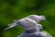 Tuerkentaube nach 15 - 19 Tagen sind die Jungvoegel fluegge - (Foto Altvoegel), Streptopelia decaocto, Eurasian Collared Dove the young fledging after 15 to 19 days - (Collared Dove - Photo adult birds)