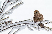 Turmfalke, die Brutzeit beginnt im April und Mai  -  (Foto Turmfalke im Winter), Falco tinnunculus, Common Kestrel, the nesting season starts in April and May  -  (European Kestrel - Photo Kestrel in winter)