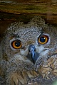 Uhu, das Gelege wird ausschliesslich vom Weibchen bebruetet  -  (Foto Jungvogel Portraet), Bubo bubo, Eurasian eagle-owl, the eggs are incubated only by the female  -  (Eagle Owl - Photo portrait of a young bird)