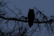 In Mitteleuropa beginnt die Brutzeit des Uhu Ende Februar und im Maerz  -  (Foto Uhu typische Silhouette gegen den Nachthimmel), Bubo bubo, In Central Europe, the breeding season of the Eurasian eagle-owl begins at the end of February and in March  -  (European eagle-owl - Photo Eurasian eagle-owl typical silhouette against the night sky)