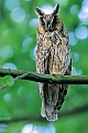 Waldohreule ist ein Nachtjaeger  -  (Foto Altvogel), Asio otus, Long-eared Owl is a nocturnal species  -  (Photo adult bird)