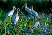 Waldstoerche sind Koloniebrueter  -  (Foto Waldstoerche und Schneesichler am fruehen Morgen), Mycteria americana - Eudocimus albus, Wood Stork breeds in colonies  -  (Wood Ibis - Photo Wood Stork and American White Ibis)