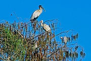 Waldstoerche erreichen eine Fluegelspannweite von 140 - 180cm  -  (Foto Waldstorch Altvogel), Mycteria americana, Wood Stork has a wingspan of 140 to 180cm  -  (Wood Ibis - Photo Wood Stork adult bird)