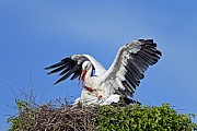 White Stork has a weight of 2,5 to 4,5 kg  -  (Photo White Stork copulation)