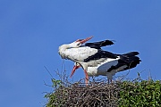 Weissstorch, beide Elterntiere fuettern die Jungvoegel - (Foto Altvogel fuettert die Jungvoegel), Ciconia ciconia, White Stork, both parents feed the young - (Photo adult feeds the young)