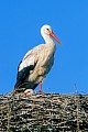 White Stork, in spring, the birds return north and arrive back in Europe around late March and April - (Photo adult birds)
