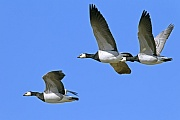 Weisswangengaense sind sehr gesellige Voegel, dies gilt auch fuer die Brutzeit  -  (Nonnengans - Foto Weisswangengaense waehrend des Vogelzugs), Branta leucopsis, Barnacle Goose is highly gregarious  -  (Photo Barnacle Geese during the autumn migration)